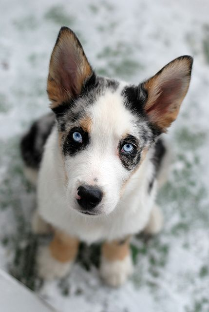 Drago, Blue Merle Cardigan Welsh Corgi (also Identified as a Border Collie) Border Collie??? By whom?