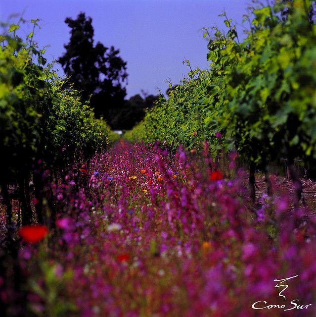 Cono Sur vineyards Chile   Flickr - Photo Sharing!