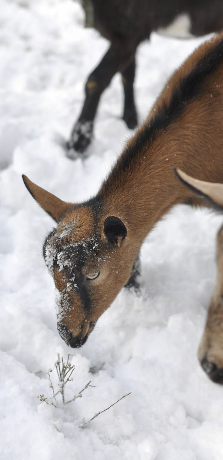 ► Alpine goat in the snow. The goats enjoy playing in the snow. Check it out: http://gmsoap.co/1xhBJX2 #goats #GMSkids #cute: