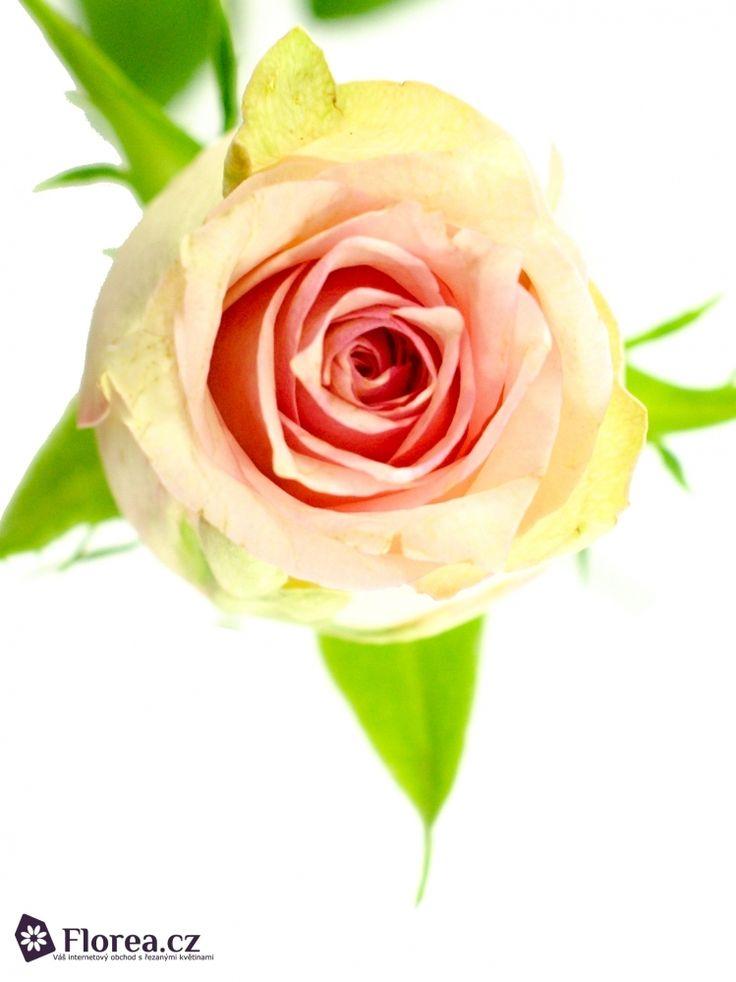 Rosa Sudoku #ruze #roses #ruzovaruze #ruzesudoku #sudoku #rosesudoku #florea #florea.cz #pinkrose