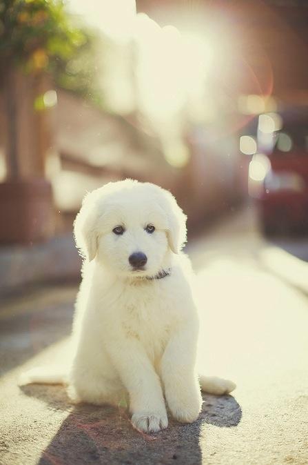 128 besten koirat maremmano abruzzese bilder auf pinterest berghunde hunderassen und sch ne hunde. Black Bedroom Furniture Sets. Home Design Ideas