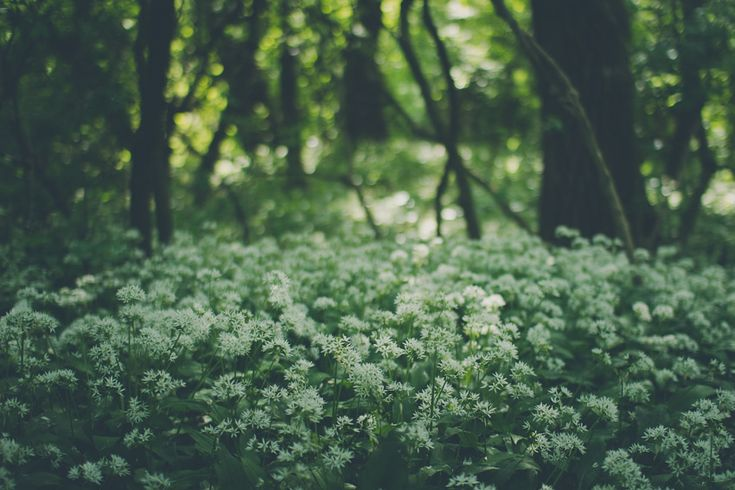 Bärlauch zur Blütezeit | BärlauchSaison.de #Bärlauch #Wald #forest #wood #trees #wildgarlic #beargarlic #flowers #beautiful #Natur #nature