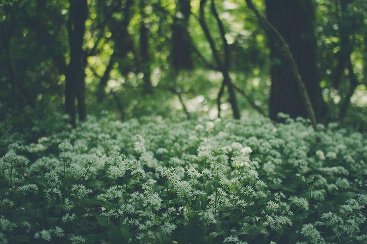 Kvetoucí medvědí česnek