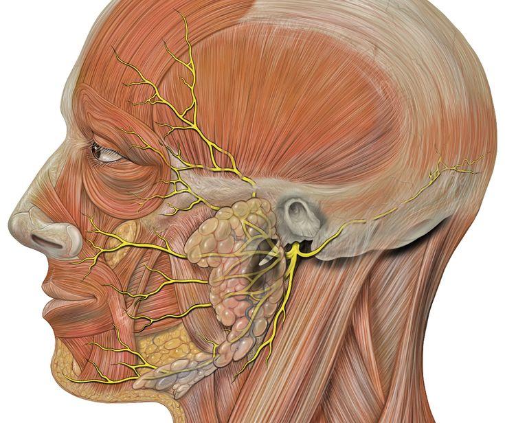 Head facial nerves