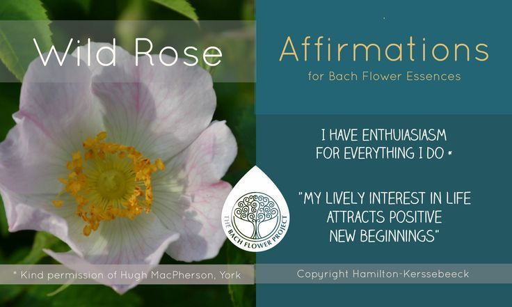 Wild Rose Affirmation Bach Flower Remedies Flower Remedy Bach Flowers