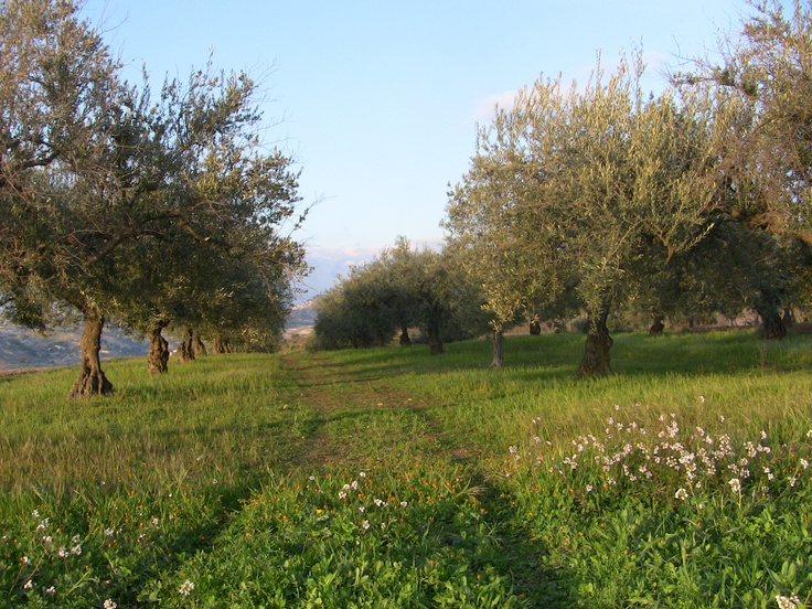 Olive trees on our way to the Gulfi vineyard