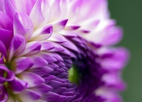 Георгины фиолетовые - картинки, фото