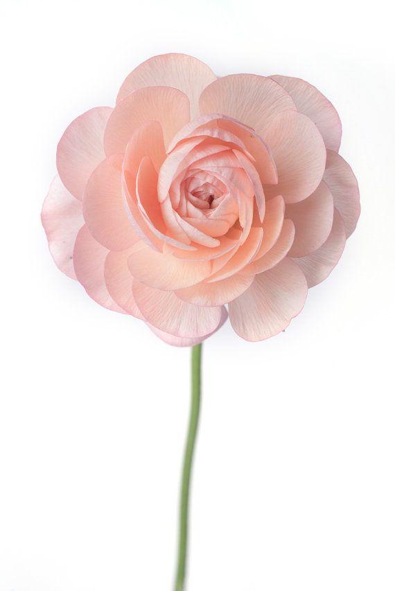 Fotografía de la flor  Ranunculus Fine Art por GeorgiannaLane