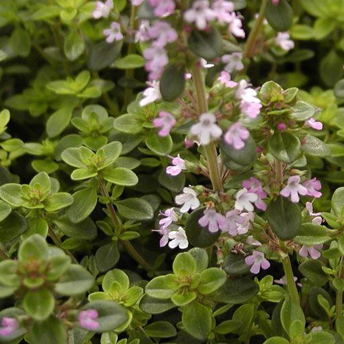 THYMUS serpyllum (Thym - Thym serpolet) : Tapissants ou arbustifs, ils n'ont pour seule exigence qu'un grand besoin de soleil. Leur feuillage est souvent aromatique. Ils apprécient les sols poreux et secs. Tapissant. Feuillage vert, souvent pourpré en plein soleil. Très nombreuses petites fleurs rose pourpré. Tapis, dallage, muret, couverture pour petits bulbes.