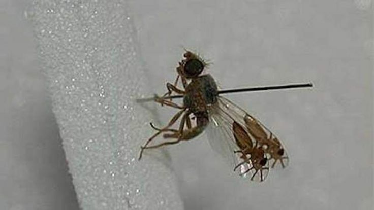 This is unbelievable, but the fruit fly G tridens has somehow evolved to have what looks like pictures of ants on its wings. Seriously, its ...