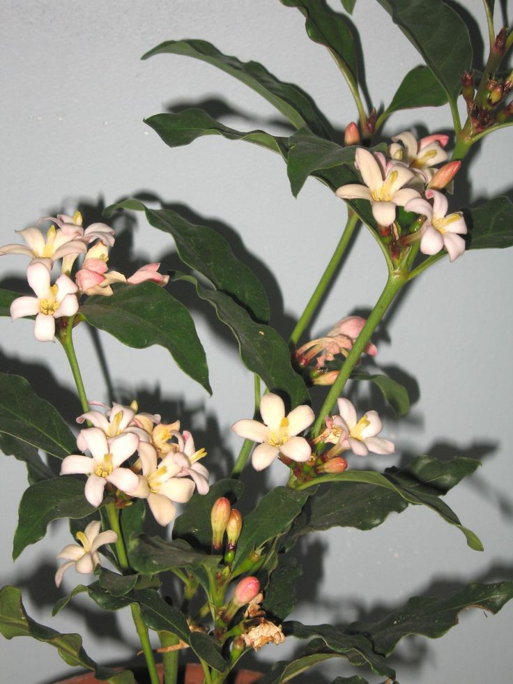 inspiring gardenia house plant. Mitriostigma axillare  The African Gardenia plant is unfussy about humidity great for apartment 59 best N images on Pinterest Gardenias Flowers