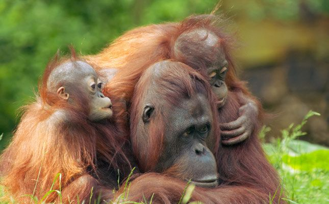 A mother orangutan with her cute babies on the Island of Borneo