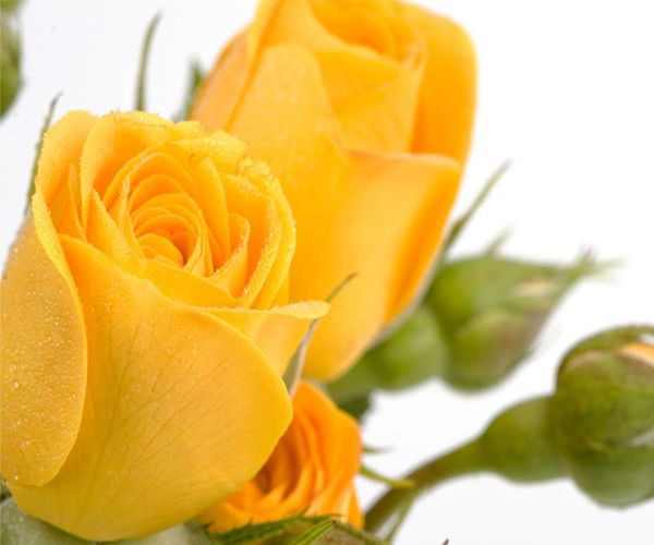 Wallpaper Of Yellow Rose: 47 Best Images About Yellow Rose Of Friendship On