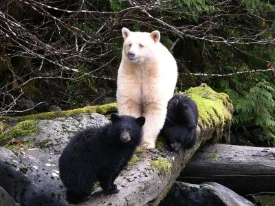 The Great Bear Rain Forest and the Spirit Bear - a rare albino Black Bear found only in this region of the world.