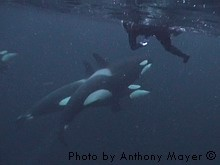 Snorkeling with wild orcas in Norway.  One day I will do this!!  It would be so incredible.