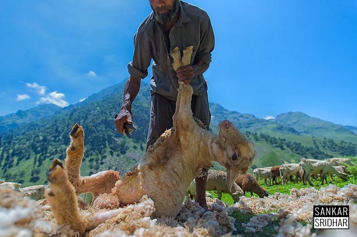 Three shears! by sankar  sridhar on 500px