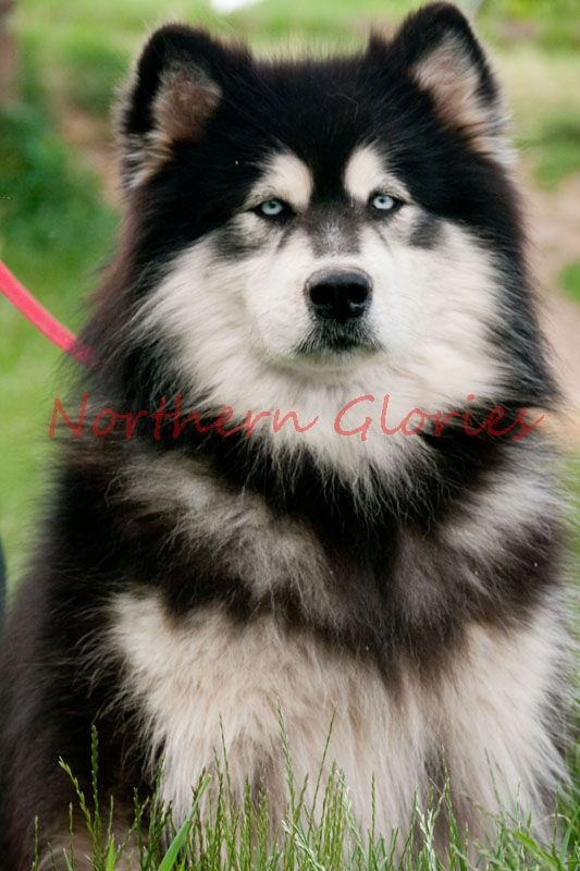 Image Detail For Wooly 1 2 Alaskan Malamute And 1 2