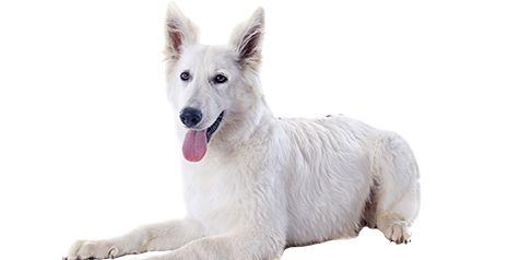 Pastor Branco Suíço (Branco) - Tudo sobre Raças de Cães | CachorroGato