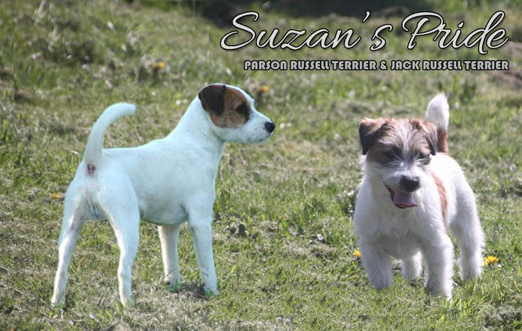 Suzan's Pride, Jack Russell Terriers, Parson Russell Terriers, Jack, Parson, Jacks, Parsons, Jack Russel, Jack Russels, Parson Russel, Parson Russels, Jack Russell pups, Parson Russell pups, howlbeck, mindlen, chiots jack russell terrier, chiots parson russell terrier, welpen, puppy, pup, puppie, puppies, puppy's, chiot, welp, suzanne pattyn, thuin, hainaut, wallonie