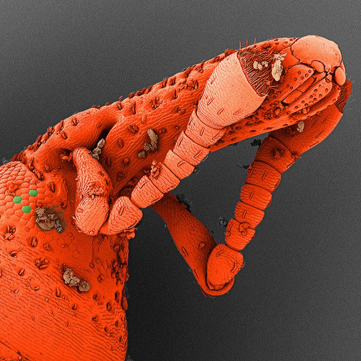 A shy rice weevil as seen by electron microscopy - A shy rice weevil observed in a scanning electron microscope (SEM).  The magnification is 265 fold when seen on a 19inch screen. The image has been colored afterwards as SEM images are only grey.