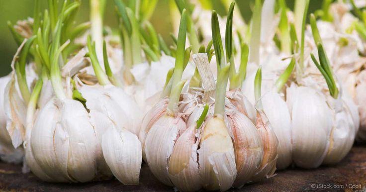 Aparte de ser un súper alimento, el ajo también es muy fácil de cultivar.