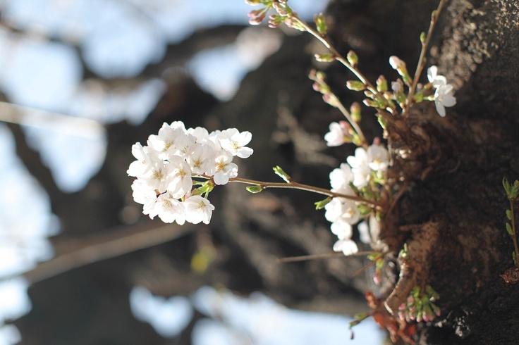Sakura in Aoyama-1