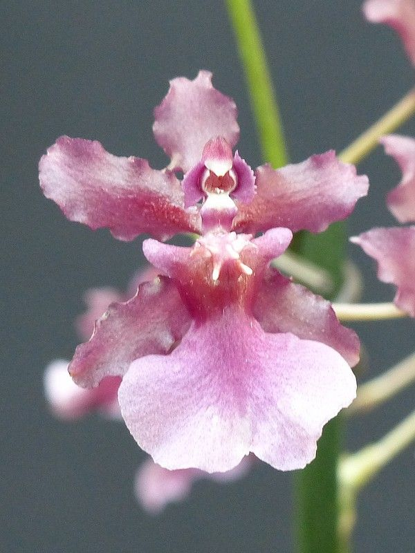 http://faaxaal.forumactif.com/t4711-photo-d-orchidee-hybride-oncidium-sharry-baby-oncidium-jamie-x-oncidium-sutton-honolulu-orchidee-vanille-chocolat