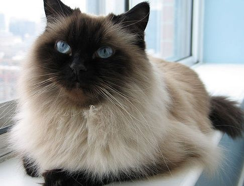 http://whitney05.hubpages.com/hub/Gifts-for-Himalayan-Cat-Lovers