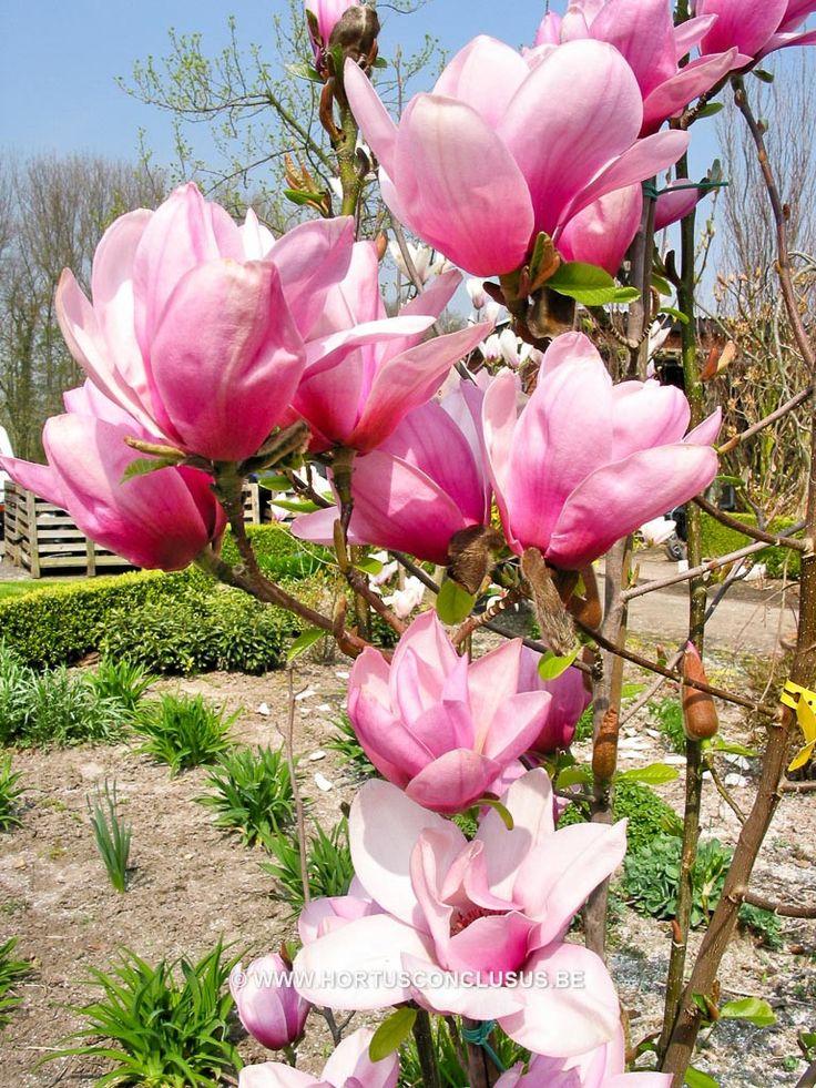 Magnolia 'Serene' - Sierboom - Hortus Conclusus  - 10