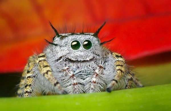 Salticids are small (most are less than one inch long), a type of jumping spider