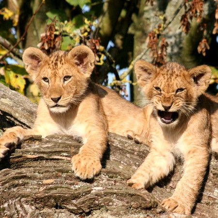 Photo of two lion cubs