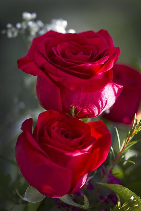 """Some people grumble that roses have thorns; I am grateful that thorns have roses."" ― Alphonse Karr, A Tour Round My Garden ........ ....... ✿⊱.. X mh"