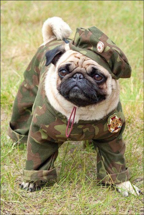 パグ犬のおもしろ軍人さん画像
