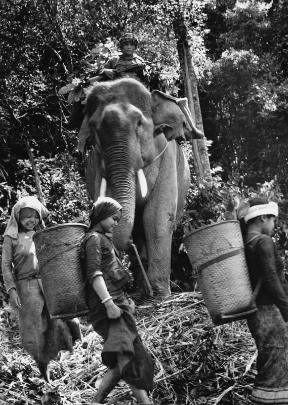 The Laotian guerilla was known to use elephants to provide supplies to the North Vietnamese Army troops near Route 9 in southern Laos.