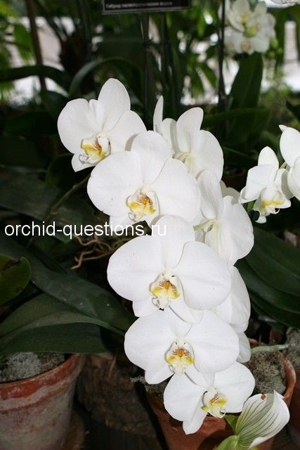 Фаленопсис на выставке орхидей в Москве 2015