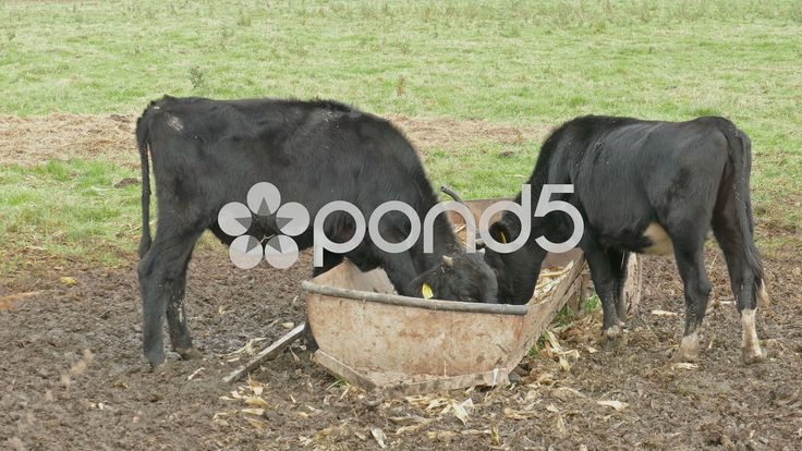 cows eating corn - Brookside Agra |Farm Animals Eating Corn