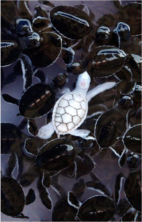 A rare Albino turtle...