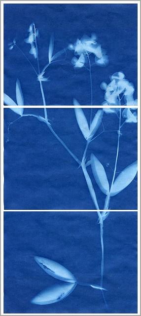 "sunprint triptych (""sweet pea in threes"")"