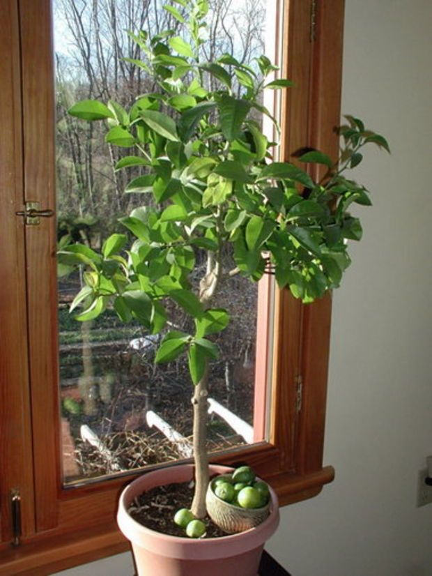 1000 Ideas About Lime Trees On Pinterest Fruit Trees