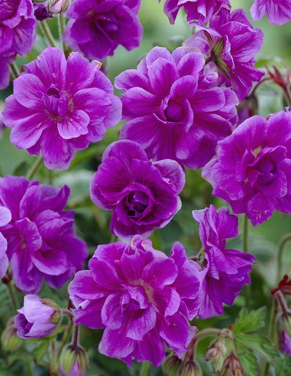 "Geranium himalayense ""Plenum"" Idänkurjenpolvi"