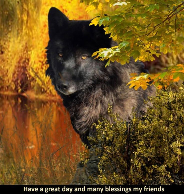157 Best Wolves Images On Pinterest Animals Wolves Art