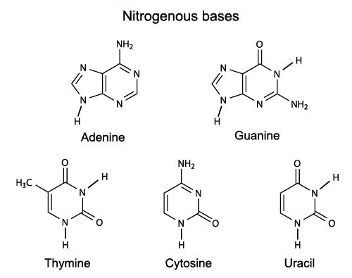 The Nitrogenous Bases of DNA and RNA