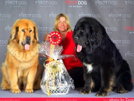 Питомник тибетских мастифов, тибетский мастиф, тибетский мастиф фото, тибетский мастиф цена, собака тибетский мастиф, куплю тибетского мастифа, тибетский мастиф купить, щенки тибетского мастифа, питомник собак, продажа щенков, купить собаку | My Golden Lion