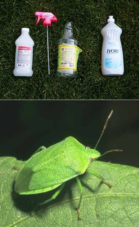 Isopropyl Alcohol = bug spray. In fact, it's the only thing we've found that kills stink bugs without them spraying. We've also sprayed wasps in the air and they were dead when they hit the ground.    You'll need: spray bottle, rubbing alcohol, liquid detergent, water.  Fill the spray bottle with 85% water, add a dash soft soap, fill the remaining 15% with rubbing alcohol. Then Mix and then spray.