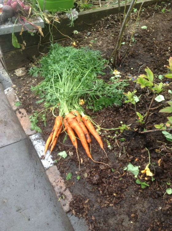 Firecracker carrots.  Great for appetizers and stir-fry.  The longer they sit the hotter they get.  Yum! www.plantswomandesign.com/landscape_design