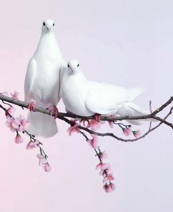 Un àrbol de duraznos con dos palomas blancas posadas en una rama del àrbol.