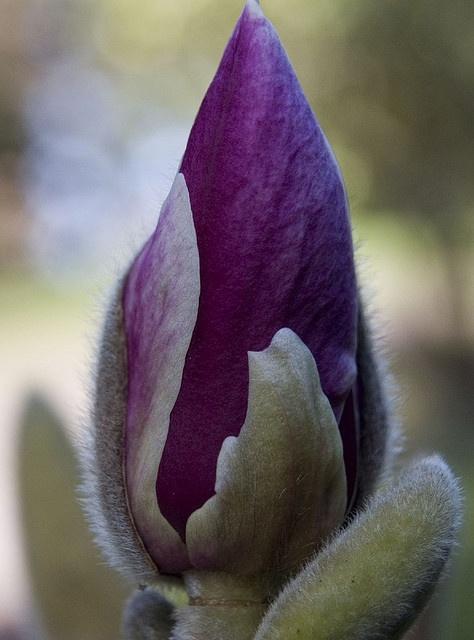 Magnolia Bud - Dyffryn, Wales