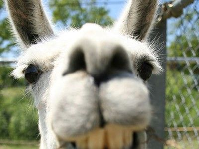 Llamas Recruited as Bouncers for Threatened Wildlife