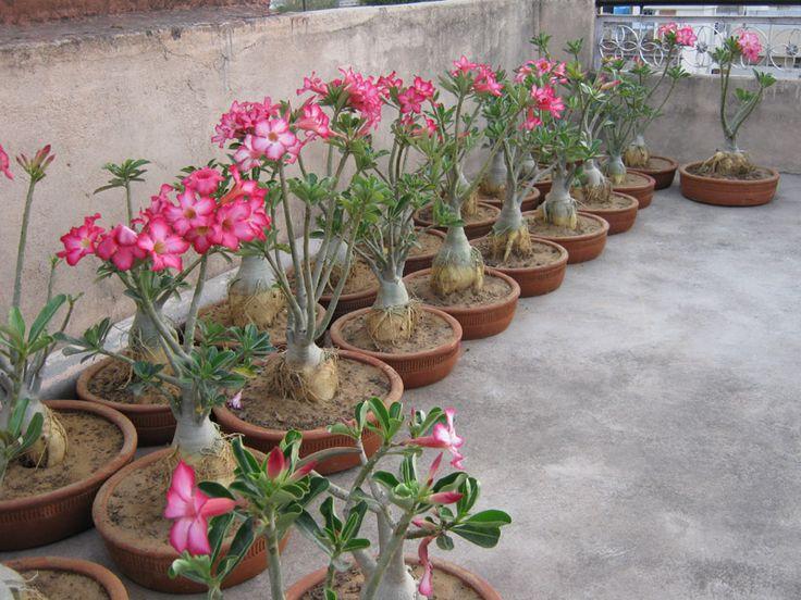 rose plants | adeniumplant.blogspot.com /Desert Rose Plants/ Adenium plant