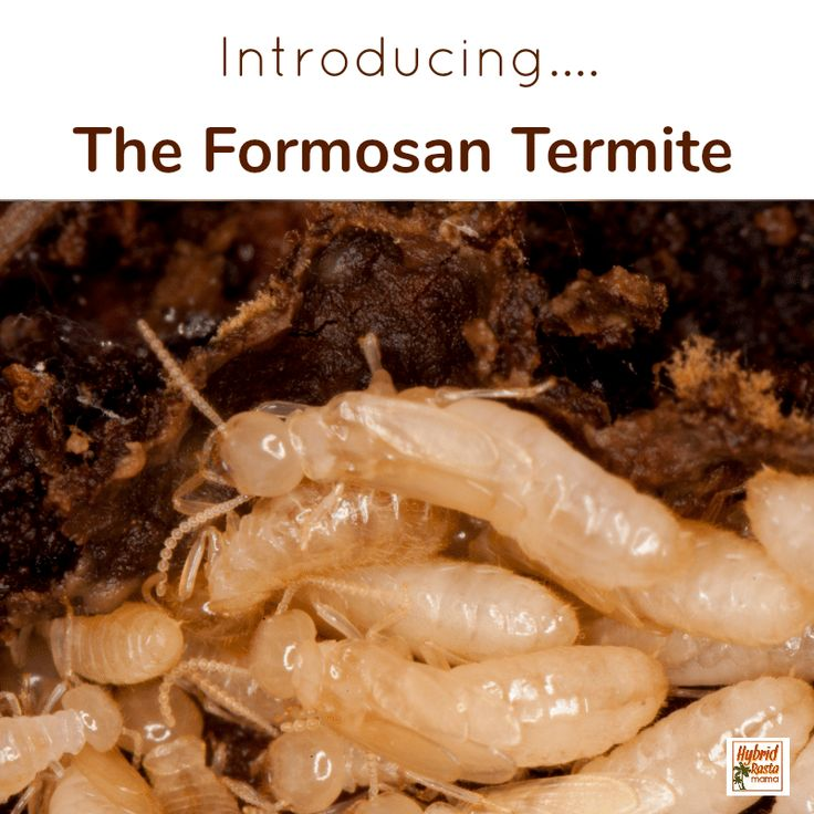 How To Get Rid Of Termites Naturally in 2020 Termites